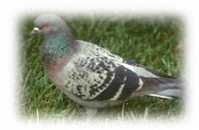 Bird Information For Wild Pigeon