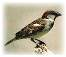 House Sparrow Bird Information