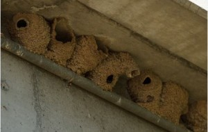 Swallow Mud Nests